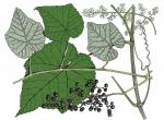 Illustration of winter grape leaves, flowers, fruit