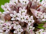 Photo of common milkweed flower cluster