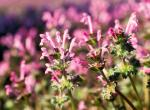 Photo of henbit plants with flowers