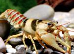 Photo of a belted crayfish, also called Big River crayfish.