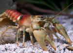 Photo of a coldwater crayfish.