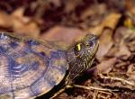 Image of a false map turtle