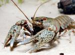 Photo of a gray-speckled crayfish.