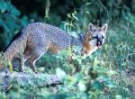 Photo of a gray fox