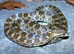 Image of a Great Plains ratsnake