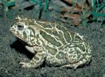 Image of a great plains toad