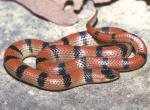 Image of a variable groundsnake