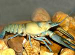 Photo of a longpincered crayfish.