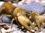 Photo of a Neosho midget crayfish.
