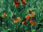 Several regal fritillaries feeding on butterfly weed