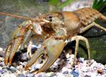 Photo of a northern, also called virile, crayfish.