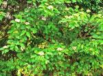 rough-leaved dogwood
