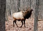 Photo of a bull elk lifting its head and bugling