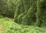 Photo of a huge mass of kudzu vines covering trees and ground