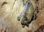 Photo of a little brown myotis hanging from cave wall with lesions on its wrist.
