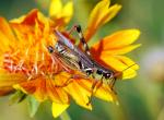 Image of a red-legged grasshopper.