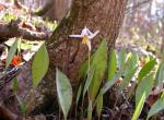 Photo of white dogtooth violet colony