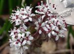 Photo of harbinger of spring flower clusters with coin to show size