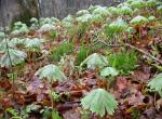 Photo of mayapple colony looking like numerous green umbrellas on forest floor