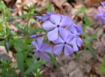 Photo of blue phlox (wild sweet William) plant with flowers