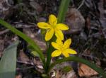 Photo of yellow star grass plant with flowers