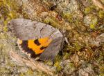 Photo of a magdalen underwing moth