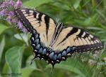 Photo of an eastern tiger swallowtail resting with wings spread open