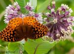 Great Spangled Fritillary, Wings Spread, nectaring on milkweed flowers