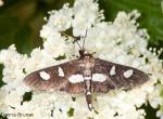 Photo of a leaffolder moth visiting a flower