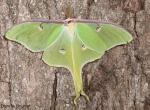 Photo of a Luna Moth