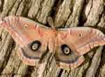 Photo of a Polyphemus Moth