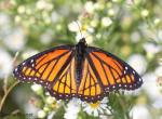 Photo of a Viceroy resting with wings open