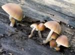 a row of little brown, umbrella-shaped mushrooms along a decaying log