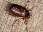 image of May Beetle on wood