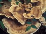 Photo of black-staining polypore, a mushroom with tan, wavy, fan-shaped caps