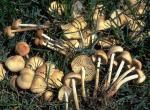 Photo of many tan fairy ring mushrooms, some uprooted, growing in grass