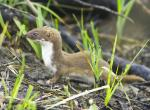 Photo of least weasel