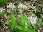 Photo of Bradbury beebalm plant with pale flowers