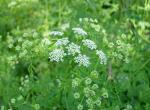 Photo of common water hemlock or spotted cowbane flowers