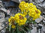 Photo of western wallflower