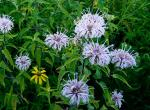 Photo of wild bergamot or horsemint plant with lavender flowers