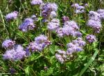 Photo of mist flower or wild ageratum plants with flowers