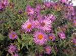 Photo of New England aster plants with flowers