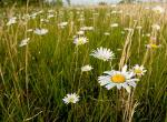 Photo of ox-eye daisies in a grassy field