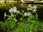 Photo of soapwort plants and flowers