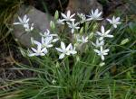 Star of Bethlehem cluster of plants with flowers