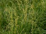 Photo of tall fescue plants