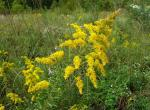 Photo of tall goldenrod plant with flowers