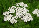 Photo of yarrow or common milfoil flower cluster
