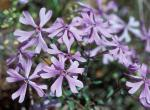Photo of sand phlox several flowers showing cleft petal lobes
